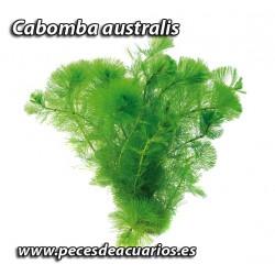 Cabomba australis