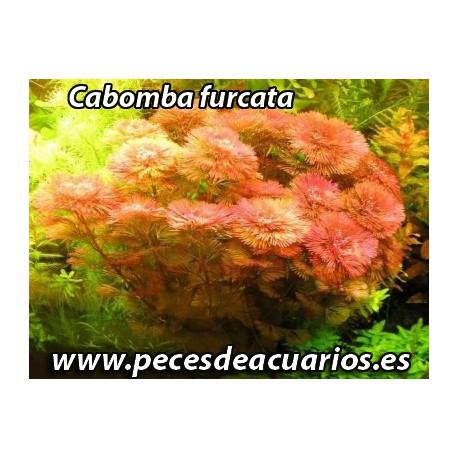 Cabomba furcata