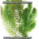 Ceratophillum Demersum (Cola de zorro)