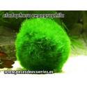 cladophora aegagrophila