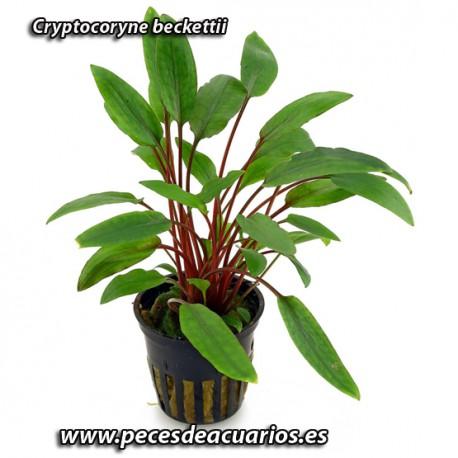 Cryptocoryne becktii