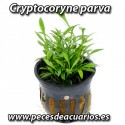 Cryptocoryne parva