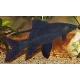 Labeo negro( morulius crrysophekadion)