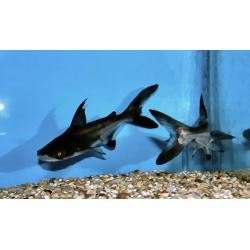 Pangasius gris oscuro sp 6 cm