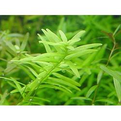 Rotala green emergida