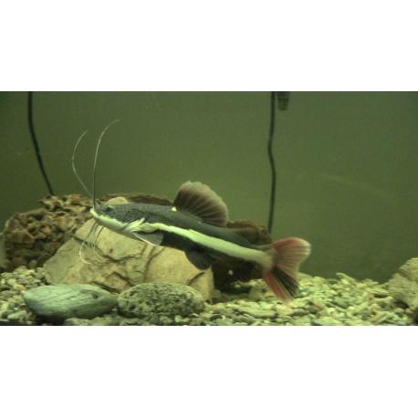 Phractocephalus hemioliopterus 7 -8 cm