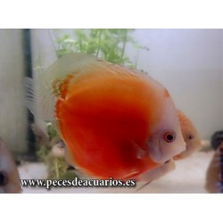 Pez disco red melon white face 10-11 cm