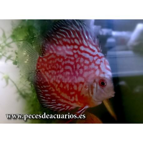 pez disco checkerboard 10-11 cm