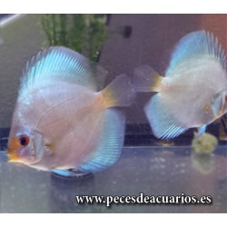 Pez disco blue diamond 7 cm