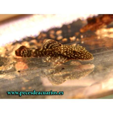 Ancistrus negro leopardo 2,5-3 cm