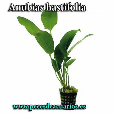 Anubias hastifolia