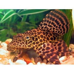 HYPOSTOMUS PLECOSTOMUS LEOPARDO 18 CM