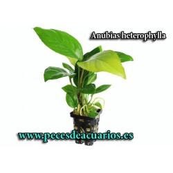 Anubia heterophylla