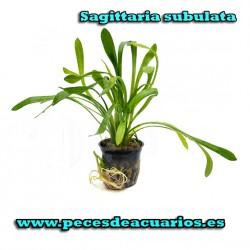 Sagittaria subulata