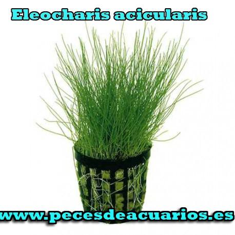 Eleocharis acicularis