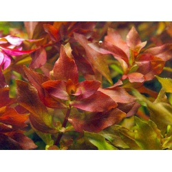 ludwigia palustris red sumergida