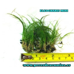Eleocharis mini