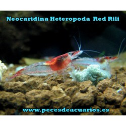 Neocaridina Heterópoda Var Red Rilli