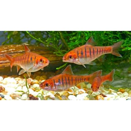 Barbus barilioides