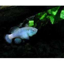 Nothobranchius guentheri Blue (Parejas)