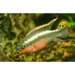 Pelvicachromis pulcher Super Red (pareja)