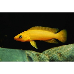 Lamprologus leleupi leleupi orange