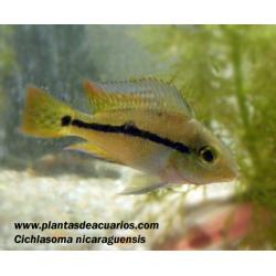 Cichlasoma nicaraguensis