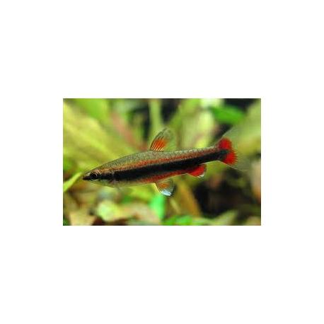 Nannostomus beckfordi