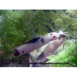 Clarias mármol/albino 6 cm