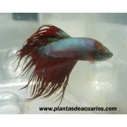 Betta macho Crowntail azul-rojo