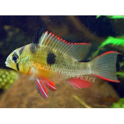PAPILIOCHROMIS ALTISPINOSA