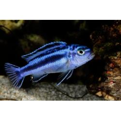 Melanochromis maingano 4-5 cm