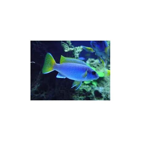 Pseudotropheus acei 4-5 cm