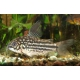Corydoras napoensis