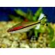 BARBO DENISONI Puntius denisoni 4-5 cm
