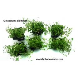 Glossostigma elatinoides (6unid) 2,50€/unid