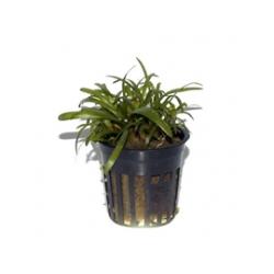 Sagittaria subulata Premium (6unid) 2,30€/unid