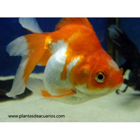 Oranda Ryukin Bicolor 8-9 cm