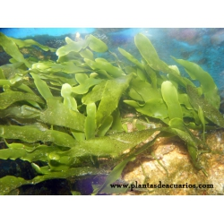Plantas marinas. caulerpa prolifera