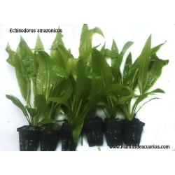 Echinodorus amazonicus 40-45 cm