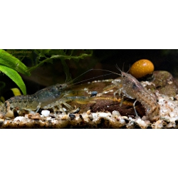 Cambarellus Diminutus 2 cm