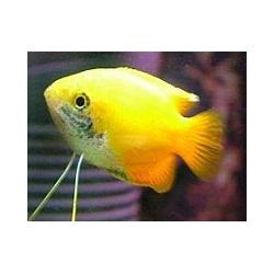 Colisa chuna amarilla