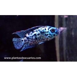 Cichlasoma Blue Dempsey