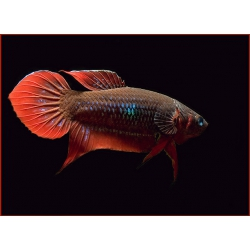 Betta Cocinna