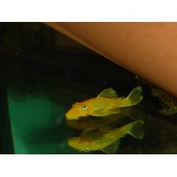 Ancistrus yelow 3-4 cm