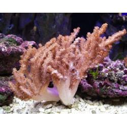 Cladiella spp coral coliflor