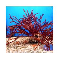 Solieria spp.roja