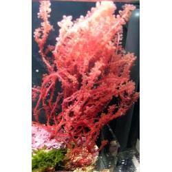 Alga Botryocladia spp