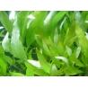 Hygrophila corimbosa var stricta green