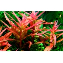 Ammania graciliss red